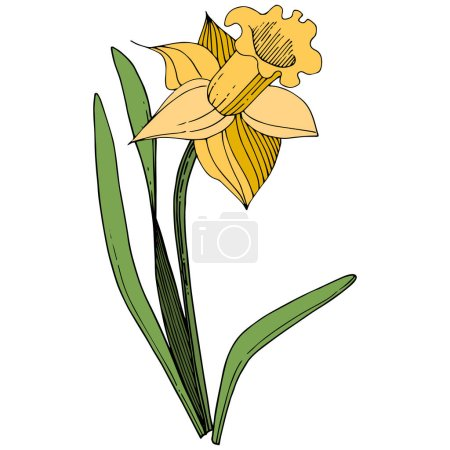 Illustration for Vector Yellow Narcissus floral botanical flower. Wild spring leaf wildflower isolated. Engraved ink art. Isolated narcissus illustration element on white background. - Royalty Free Image