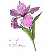 Vector Pink Iris isolated on white Engraved ink art Isolated iris illustration element on white background