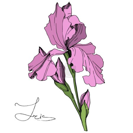 Illustration for Vector Pink Iris isolated on white. Engraved ink art. Isolated iris illustration element on white background. - Royalty Free Image