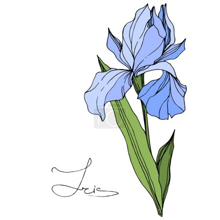Illustration for Vector Blue Iris isolated on white. Engraved ink art. Isolated iris illustration element on white background. - Royalty Free Image