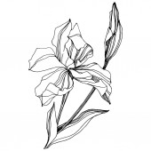 Vector Iris floral botanical flower Wild spring leaf wildflower isolated Black and white engraved ink art Isolated iris illustration element on white background