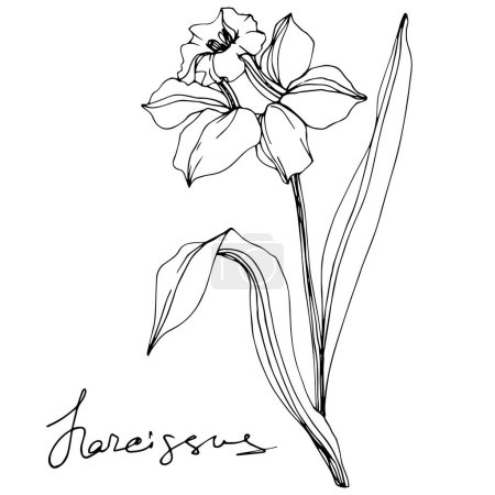 Illustration for Vector narcissus flower illustration isolated on white. Black and white engraved ink art. - Royalty Free Image