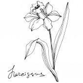 Vector narcissus flowers illustration isolated on white Black and white engraved ink art