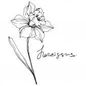 Vector narcissus flower illustration isolated on white Black and white engraved ink art