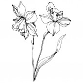 "Постер, картина, фотообои ""Vector narcissus flowers illustration isolated on white. Black and white engraved ink art. """