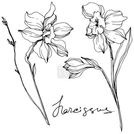 Ilustración de Vector narcissus flowers illustration isolated on white. Black and white engraved ink art. - Imagen libre de derechos