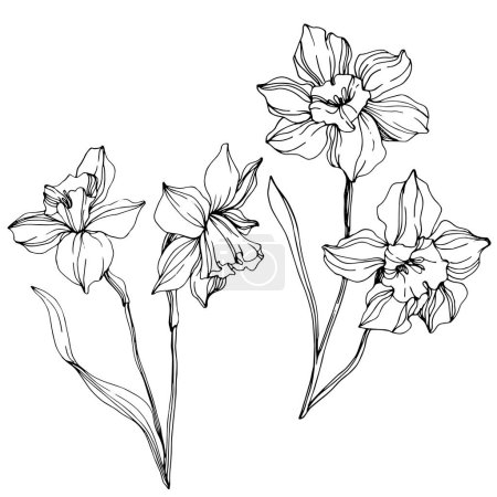 Illustration for Vector narcissus flowers illustration isolated on white. Black and white engraved ink art. - Royalty Free Image