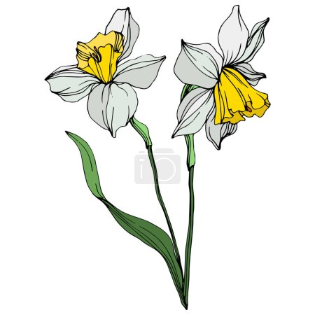 Illustration for Vector colorful narcissus flowers with green leaves illustration isolated on white - Royalty Free Image