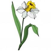 Vector narcissus flower illustration element on white background