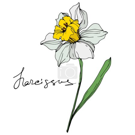 Illustration for Vector narcissus flower illustration element on white background with lettering - Royalty Free Image