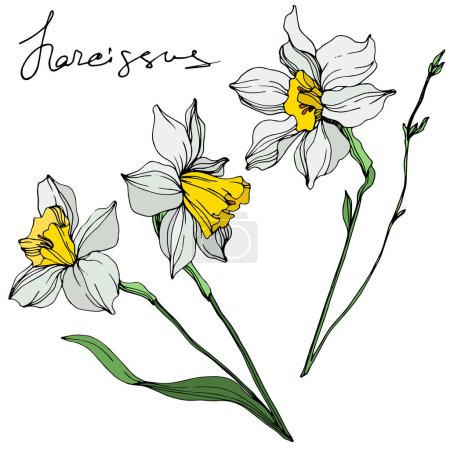 Illustration for Vector colorful narcissus flowers illustration isolated on white with handwritten inscription - Royalty Free Image