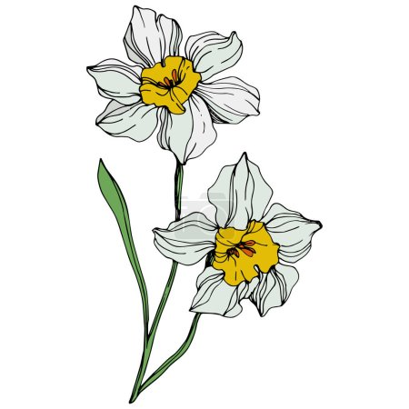 Illustration for Vector colorful narcissus flowers with green leaf illustration isolated on white - Royalty Free Image
