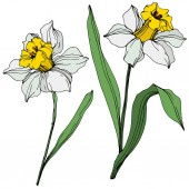 Vector colorful narcissus flowers with green leaves illustration isolated on white