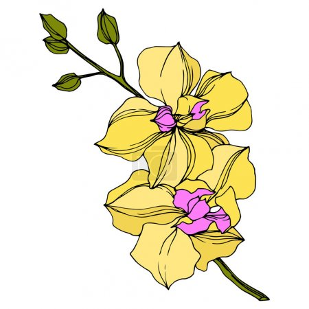 Illustration for Vector yellow orchid flowers isolated on white. Engraved ink art. - Royalty Free Image