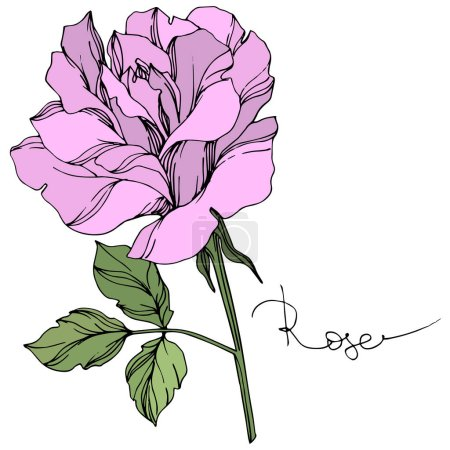 Ilustración de Vector violet rose flower with green leaves isolated on white. - Imagen libre de derechos