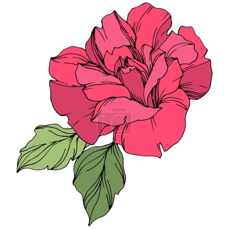 Illustration for Vector pink rose flower with green leaves isolated on white. - Royalty Free Image
