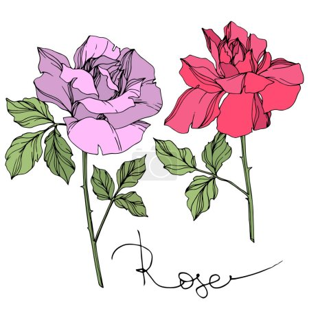 Illustration for Vector violet and pink roses flowers with green leaves isolated on white. - Royalty Free Image