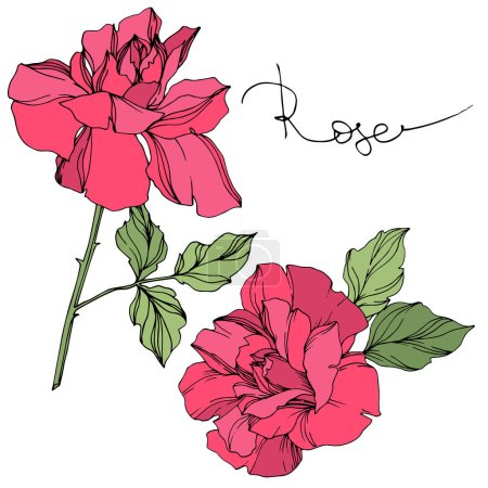 Illustration for Vector pink roses flowers with green leaves isolated on white. - Royalty Free Image