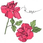 Vector pink roses flowers with green leaves isolated on white