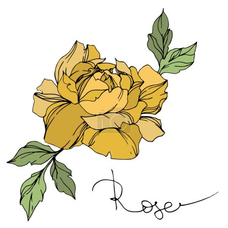 Illustration for Vector yellow rose flower with green leaves isolated on white. - Royalty Free Image