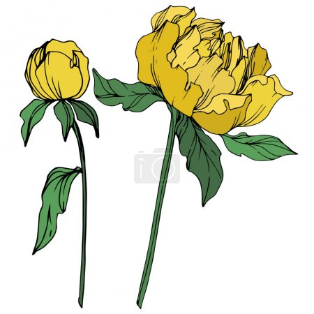 Illustration for Vector peonies with leaves isolated on white. Yellow and green engraved ink art on white background. - Royalty Free Image