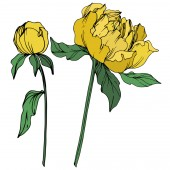 Vector peonies with leaves isolated on white Yellow and green engraved ink art on white background