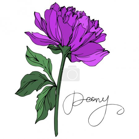 Illustration for Vector peony flower with leaves isolated on white with peony lettering. Purple and green engraved ink art on white background. - Royalty Free Image