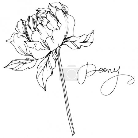 Illustration for Vector peony flower with leaves isolated on white with peony lettering. Black and white engraved ink art. - Royalty Free Image