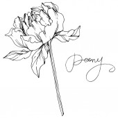 Vector peony flower with leaves isolated on white with peony lettering Black and white engraved ink art