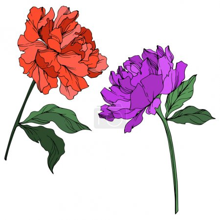 Illustration for Vector peonies with leaves isolated on white. Purple, red and green engraved ink art on white background. - Royalty Free Image