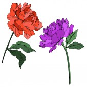 Vector peonies with leaves isolated on white Purple red and green engraved ink art on white background