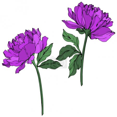 Illustration for Vector peonies with leaves isolated on white. Purple and green engraved ink art on white background. - Royalty Free Image