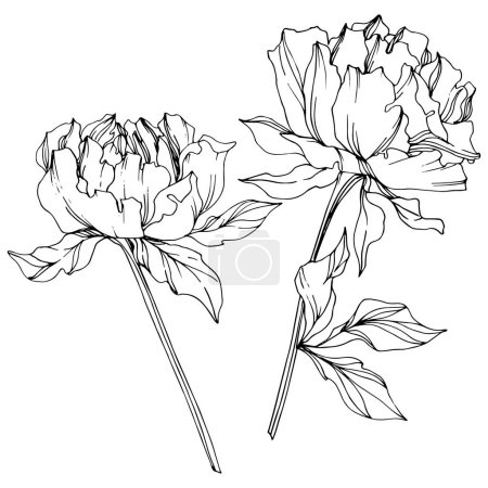Illustration for Vector peonies with leaves isolated on white. Black and white engraved ink art. - Royalty Free Image