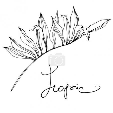 Illustration pour Été hawaïen tropical exotique. Palm plage arbre feuilles jungle botanique succulent. Encre gravée en noir et blanc. Elément d'illustration de feuille isolé . - image libre de droit