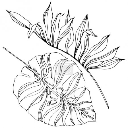 Illustration for Exotic tropical hawaiian summer. Palm beach tree leaves jungle botanical succulent. Black and white engraved ink art. Isolated leaf illustration element. - Royalty Free Image