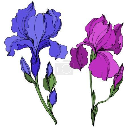 Illustration for Vector Irises floral botanical flowers. Wild spring leaf wildflower isolated. Blue and purple engraved ink art. Isolated irises illustration element on white background. - Royalty Free Image