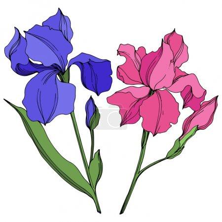 Vektoriris florale botanische Blumen. blau und rosa gravierte Tuschekunst. isolierte Iris Illustrationselement.