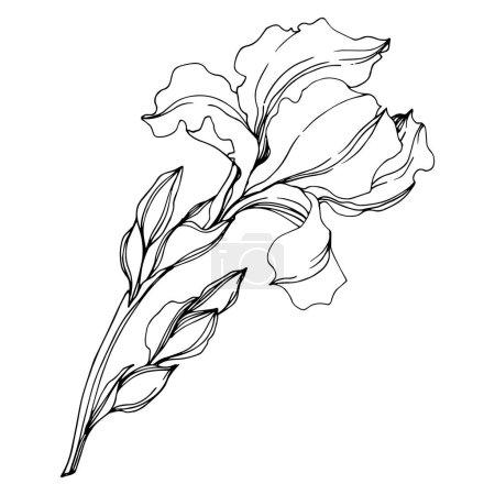 Illustration for Vector Irises floral botanical flowers. Wild spring leaf wildflower isolated. Black and white engraved ink art. Isolated irises illustration element on white background. - Royalty Free Image