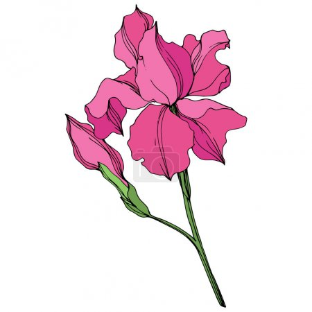 Illustration for Vector Irises floral botanical flowers. Wild spring leaf wildflower isolated. Pink and green engraved ink art. Isolated irises illustration element on white background. - Royalty Free Image