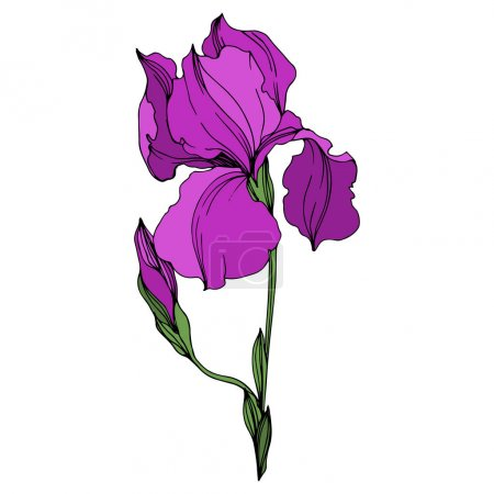 Illustration for Vector Irises floral botanical flowers. Wild spring leaf wildflower isolated. Purple and green engraved ink art. Isolated irises illustration element on white background. - Royalty Free Image