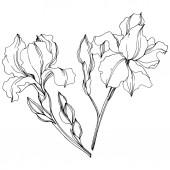 Vector Irises floral botanical flowers Black and white engraved ink art Isolated irises illustration element