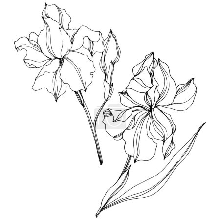 Illustration for Vector Irises floral botanical flowers. Wild spring leaf wildflower isolated. Black and white engraved ink art. Isolated irises illustration element on white background. - Royalty Free Image