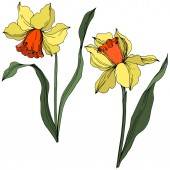 Vector Narcissus floral botanical flower Yellow and green engraved ink art Isolated narcissus illustration element