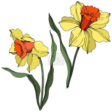 Illustration pour Fleur botanique florale de Vector Narcissus. Fleur sauvage de neige sauvage de feuille de source d'isolement. Art d'encre gravé jaune et vert. Élément isolé d'illustration de narcisse sur le fond blanc. - image libre de droit