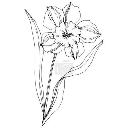 Illustration for Vector Narcissus floral botanical flower. Wild spring leaf wildflower isolated. Black and white engraved ink art. Isolated narcissus illustration element on white background. - Royalty Free Image