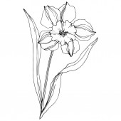 Vector Narcissus floral botanical flower Black and white engraved ink art Isolated narcissus illustration element