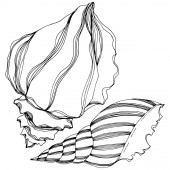 Vector Summer beach seashell tropical elements Black and white engraved ink art Isolated shell illustration element
