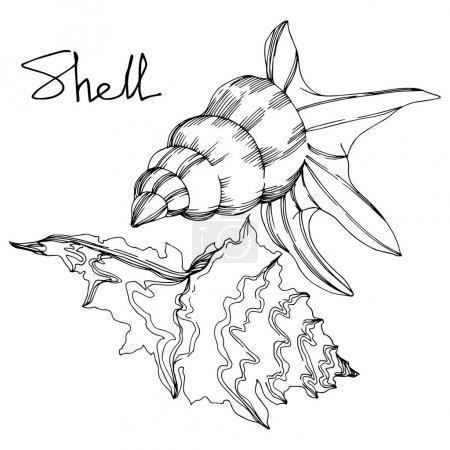 Illustration for Vector Summer beach seashell tropical elements. Black and white engraved ink art. Isolated shell illustration element on white background. - Royalty Free Image