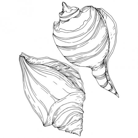 Illustration for Summer beach seashell tropical elements. Black and white engraved ink art. Isolated shells illustration element on white background. - Royalty Free Image