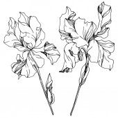 Iris floral botanical flowers Black and white engraved ink art Isolated irises illustration element